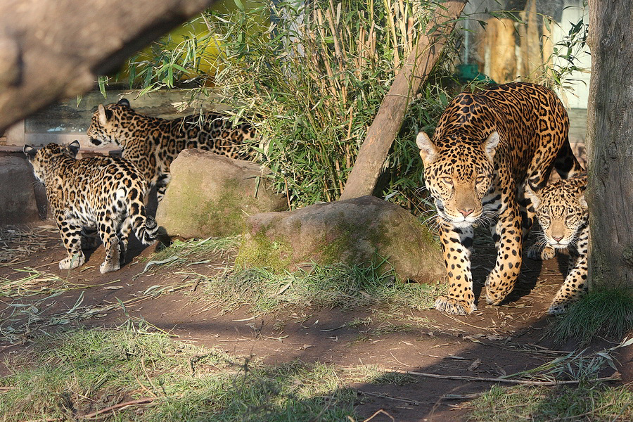 schwarzer jaguar bilder